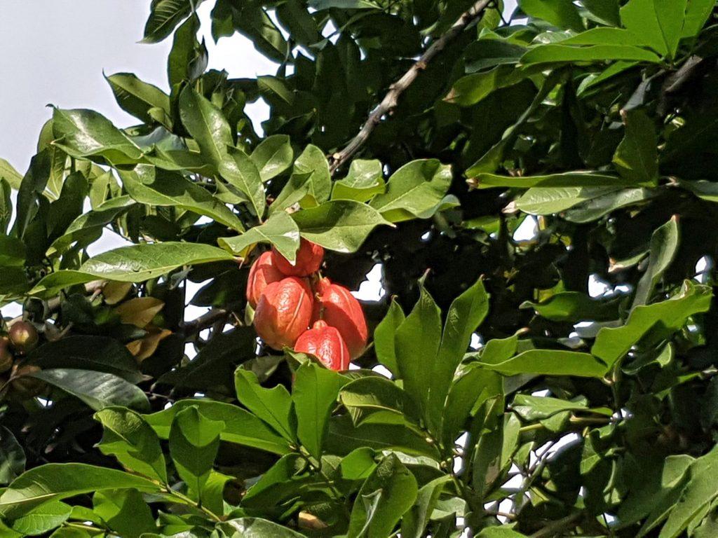 Ackee Tree in Kingston Jamaica