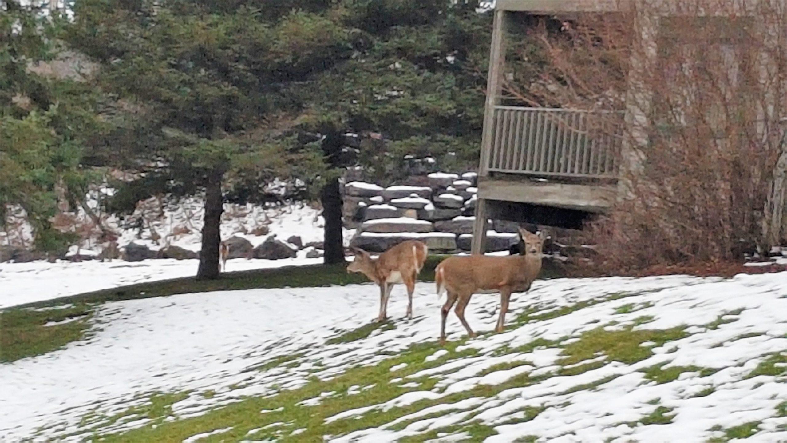 Deer Friends while exploring Deerhurst Resort, Muskoka
